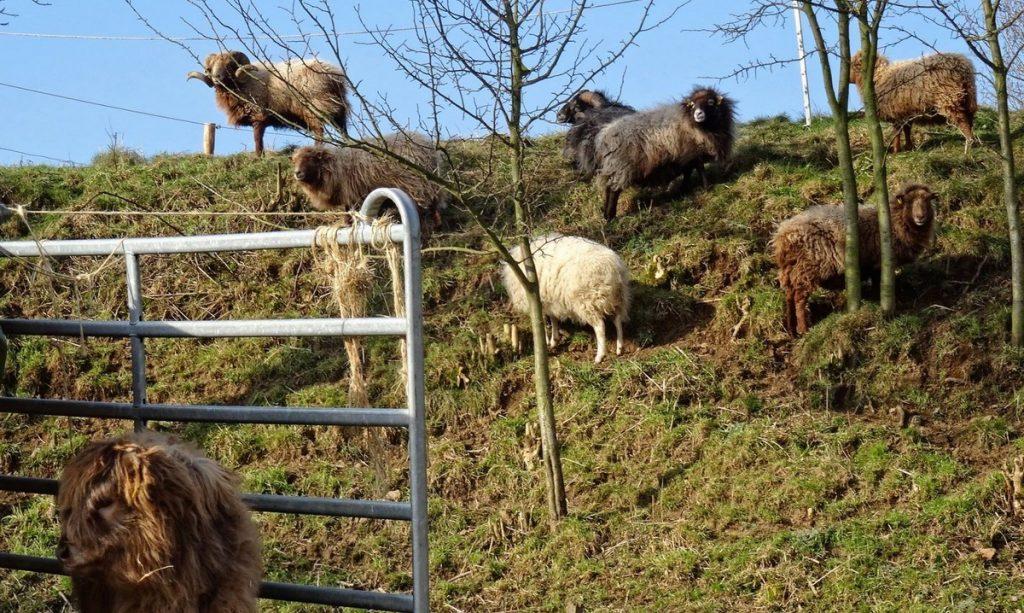 Mahlzeit. Ein paar friedlich grasende Schafe am Wegesrand.