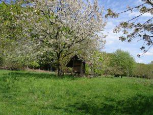 Blühender Obstbaum im Obstmuseum