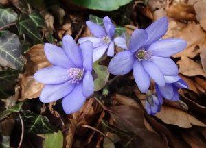 Blüten am Leberblümchenweg