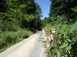 Hübsche Blüten, aber das alles überragende Drüsige Springkraut, entwickelt sich zur Plage...