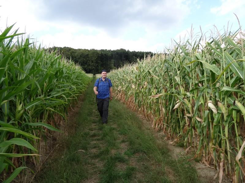 Geradewegs durch den Mais geht es weiter...