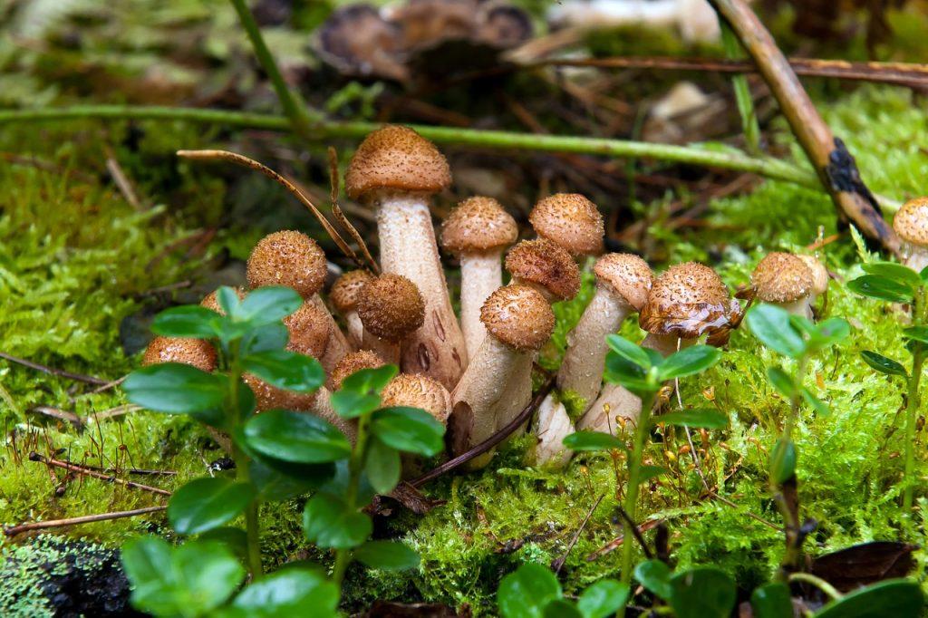 Unter anderem der Hallimasch gedeiht am Pilzweg Dissen.
