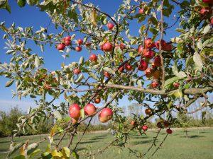 Die Äpfel der Streuobstwiesen haben wir selbstverständlich ebenfalls gekostet.