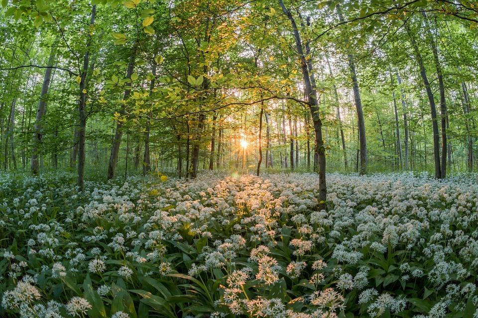 Bärlauchfeld im Wald mit tief stehender Sonne