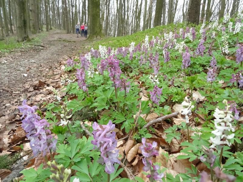Eine der ersten Touren führte uns zur Lerchenspornblüte auf dem Freeden in Bad Iburg.