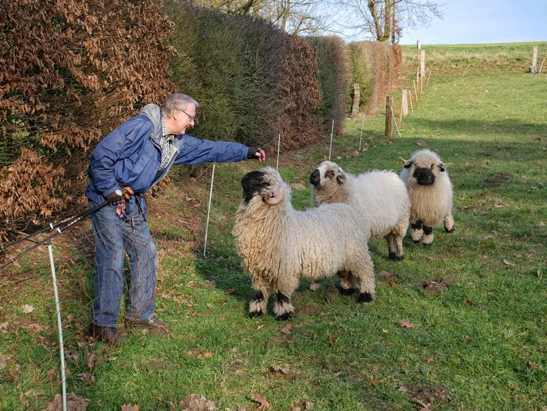 Wanderer streichelt Schafe auf einer Koppel