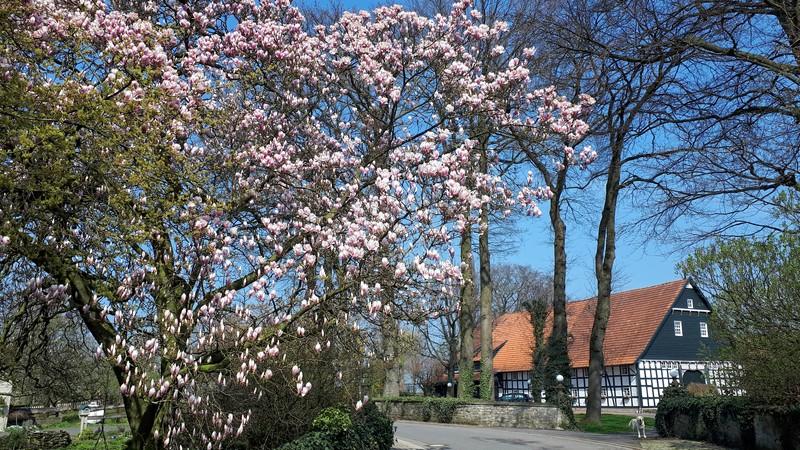 Das Bild zeigt einen blühenden Baum und im Hintergrund einen großen Fachwerkhof.