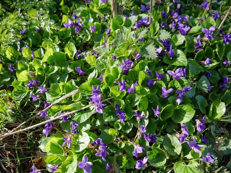 Blauen Blüten am Wegesrand