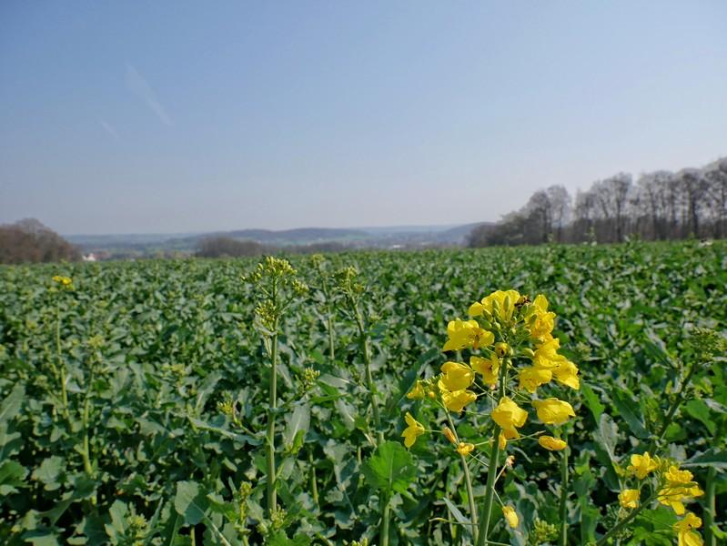 Das Bild zeigt im Vordergrund gelbe Blüten, ein Feld und im Hintergrund den Ausblick auf das Wiehengebirge.