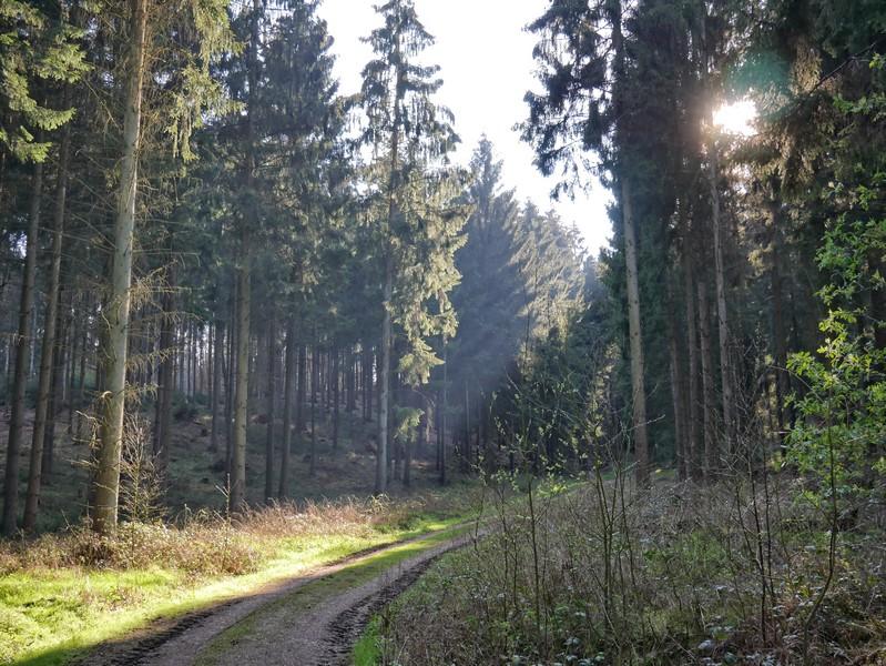 das Bild zeigt einen breiten Waldweg, umgeben von Fichten, durch die sich das Sonnenlicht bricht.