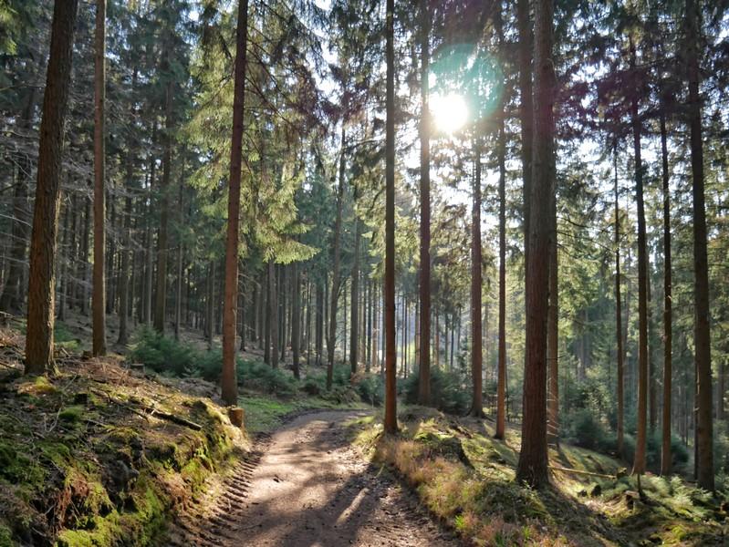 Das Bild zeigt einen schmalen Waldweg, in den Fichtenwipfeln bricht sich das Sonnenlicht.