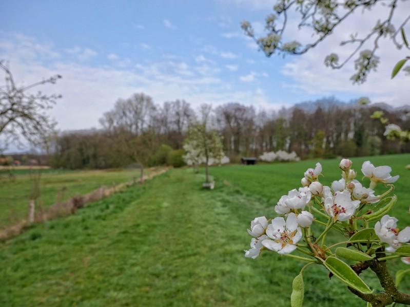 Das Bild zeigt im Vordergrund Obstbaumblüten und im Hintergrund den Schmittenhöhenweg, der hier zwischen Feldern und Wiesen verläuft.