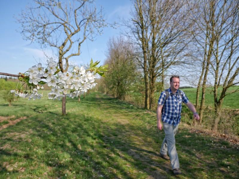 Das Bild zeigt den Wandervogel im Hintergrund auf dem Weg und im Vordergrund Birnenblüten.