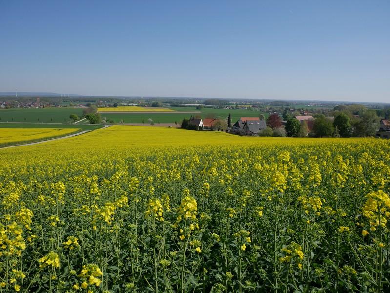 Das Bild zeigt ein langes Rapsfeld, das den Hang abwärts verläuft. Am Ende sind einige Häuser zu sehen.