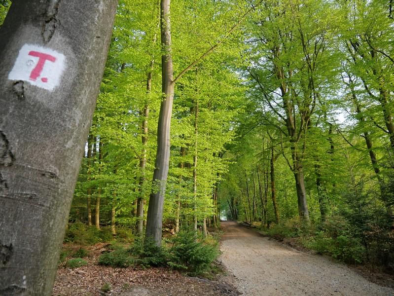 Das Bild zeigt die rotweiße Markierung vom TERRA.track Düingberg und einen breiten Weg durch einen Buchenwald.