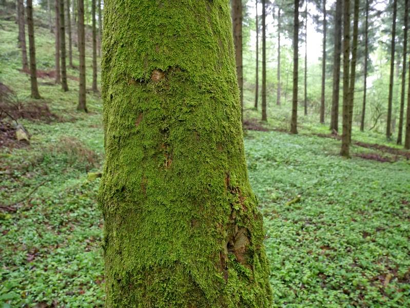 Das Bild zeigt einen vollständig mit Moos bewachsenen Baumstamm.