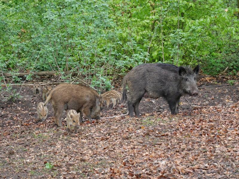 Das Bild zeigt eine vollständige Wildschweinrotte im Wildpark Melle.