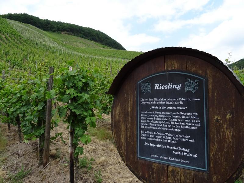 Das Bild zeigt eine Info-Tafel zur Rebsorte Riesling in den Weinbergen.