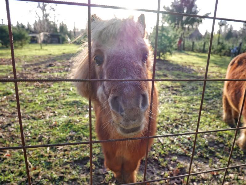 Die Shetland Ponys freuen sich über unseren Besuch...
