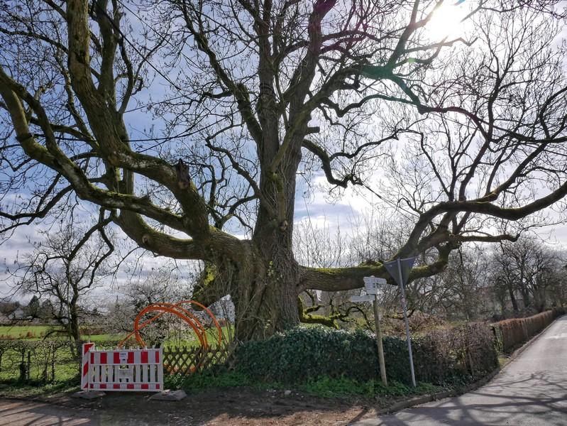 Ein mächtiger Baum erwartet uns an der Gabelung.