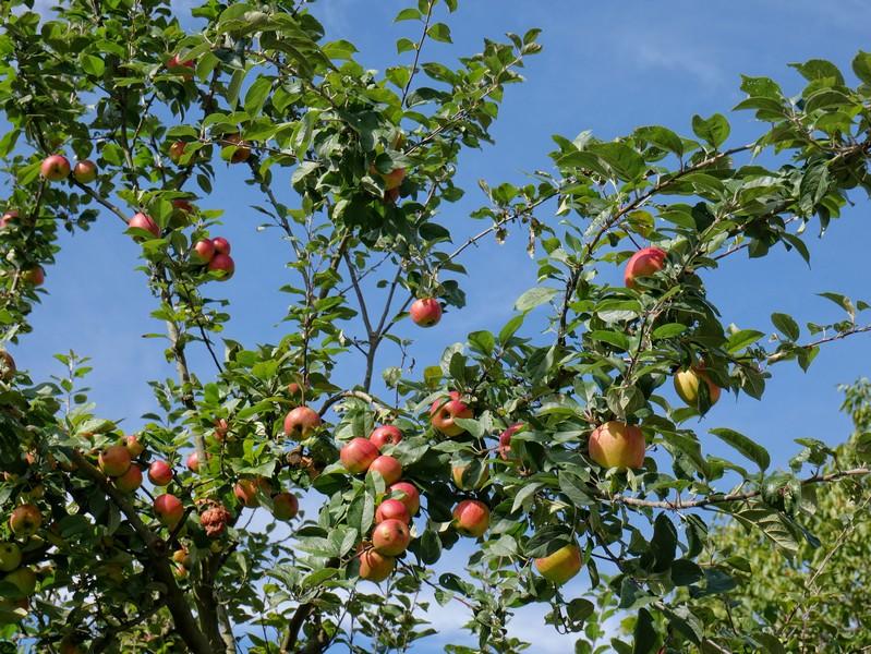 Dort säumen Apfelbäume unseren DiVa Walk.