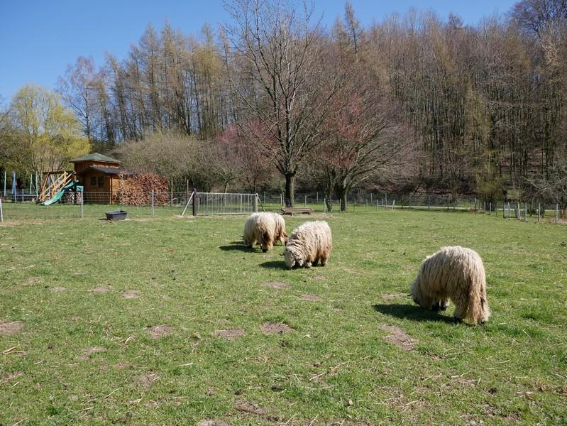 Ganz schön zottelig - das sind doch Schafe oder?