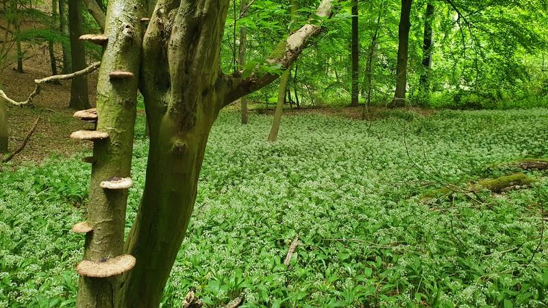Duftende Bärlauchfelder gedeihen an den Hängen des Wesergebirges.