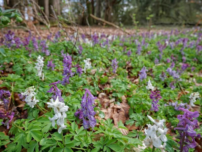 Wer die Umgebung im Blick behält, kann im Frühjahr kleinere Vorkommen des Frühblühers Lerchensporn entdecken.